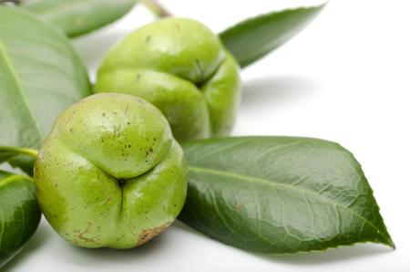 japonica: Fruit of Camellia japonica