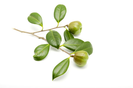 Fruit of Camellia japonica