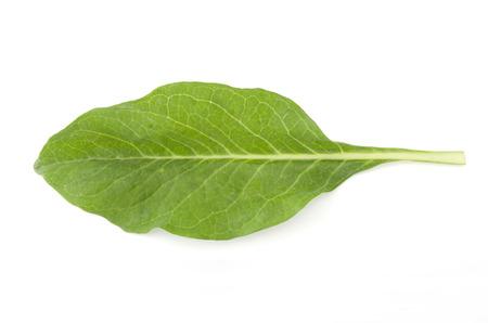 vegetative: ixeris dentata njana, hosobawadan