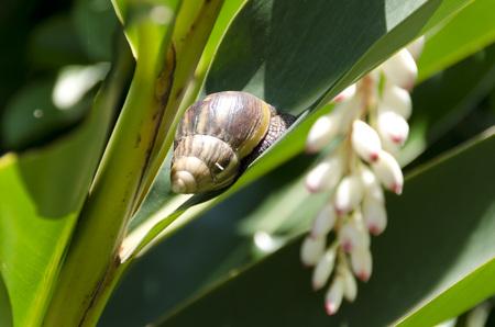 alpinia: Giant African snails and Alpinia zerumbet, Stock Photo