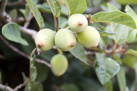 creeping fig: Ooitabi Ficus pumila