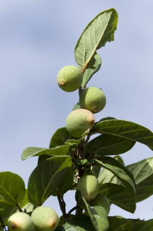 Ooitabi Ficus pumila