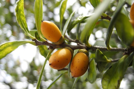 Diospyros ferrea, ryukyu ebony Fruit Stock Photo