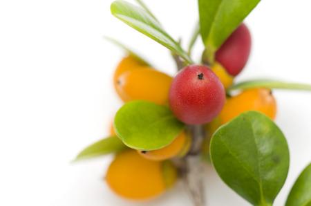 diospyros: Diospyros ferrea, ryukyu ebony Fruit Stock Photo