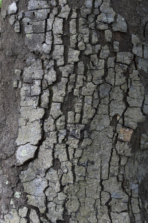 ebenaceae: Diospyros ferrea, ryukyu ebony, Tree Bark Texture