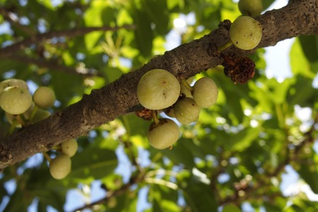 Deciduous figs branch and green fruits (Ficus superba) Stock Photo