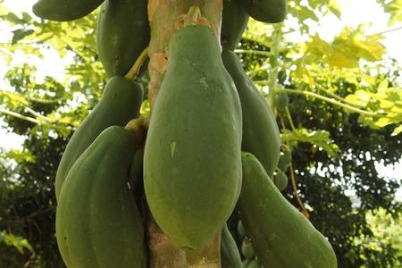 membrillo: Papaya