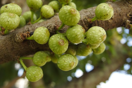 Deciduous fig's branch and green fruits (Ficus superba)