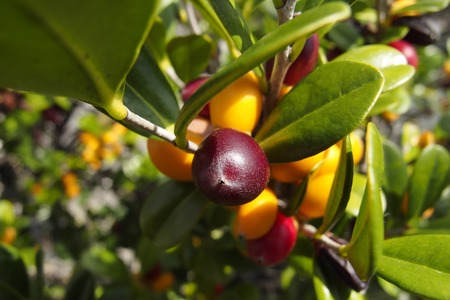 ebenaceae: Diospyros ferrea, ryukyu ebony Fruit Stock Photo