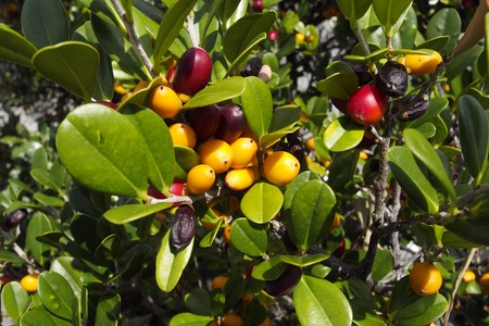 ebenaceae: Diospyros ferrea, ryukyu ebony Fruit Stock Photo