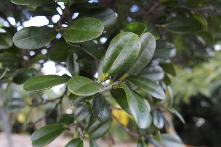 ebenaceae: Leaves of Ryukyu ebony Stock Photo