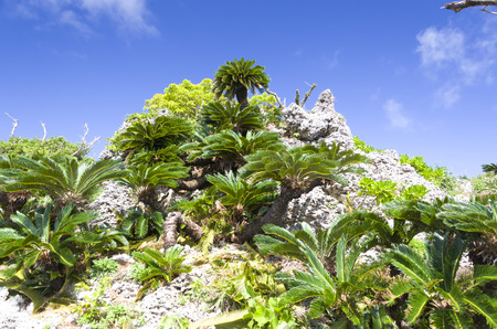 cycad: Ryukyu limestone and cycad