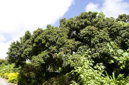 Bishop wood (Bischofia javanica)
