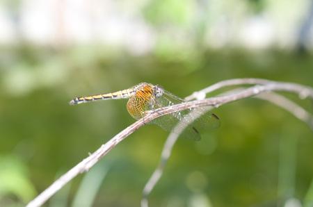 sympetrum: Dragonfly, Sympetrum speciosum speciosum Stock Photo