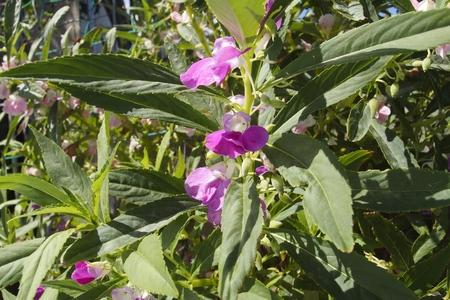 balsam: Impatiens balsamina
