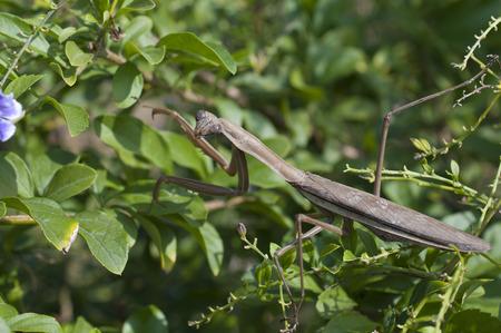 mantis: brown mantis