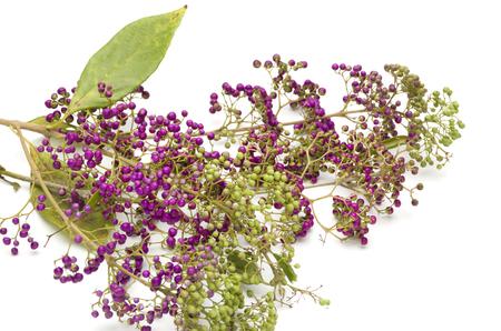 japonica: Callicarpa japonica