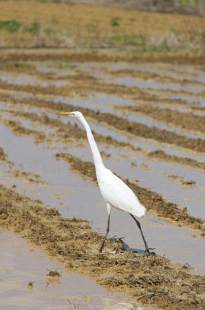 The white bird in the rice field, Intermediate Egret (Egretta intermedia).
