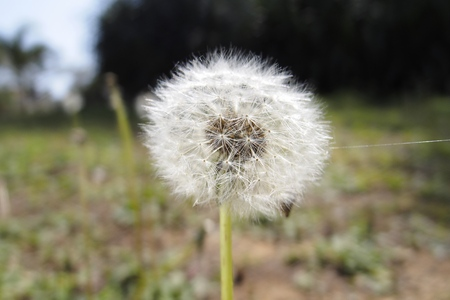 Dandelions fluff Stock Photo