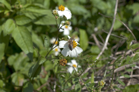 radiata: romerillo, Bidens pilosa var. radiata, Stock Photo