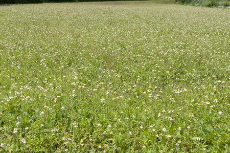 Fallow land, romerillo, Bidens pilosa var. radiata, Stock Photo