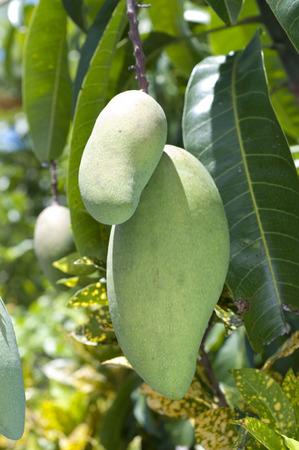 Carabao Mango, immature green Mango hanging on a tree.