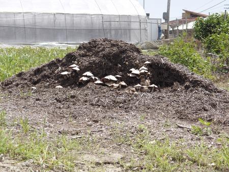 Mushroom that grows in the bagasse