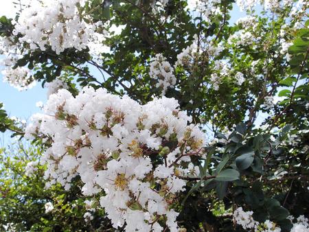 crape Myrtle blooms