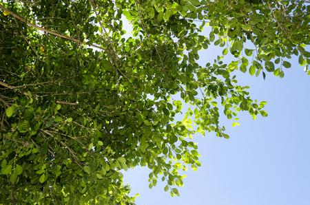 Gajumaru (Ficus microcarpa) leaves