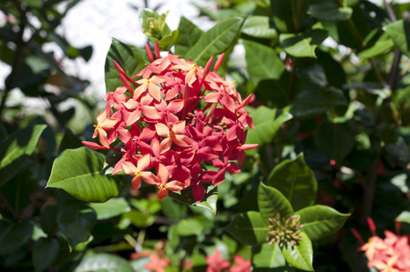 Beautiful Red Ixora coccinea Stock Photo