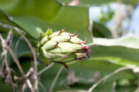 dragon fruit bud on a tree Stock Photo
