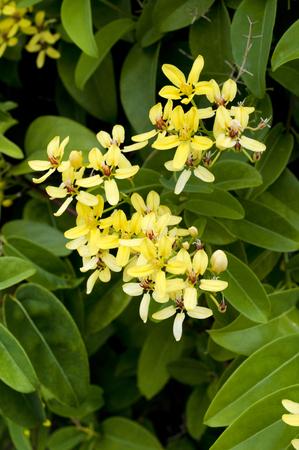 celos: Tristellateia australasiae