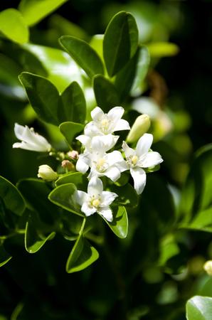 White flower Murraya paniculata or Orang Jessamin Stock Photo