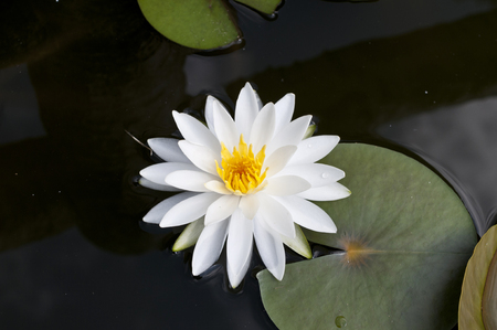 Beautiful white Water lily, Nymphaea tatragona Archivio Fotografico