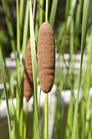 Typha domingensis Stock Photo