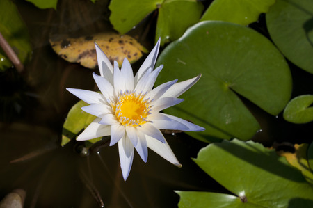 Beautiful light blue Water lily, Nymphaea daubenyana Archivio Fotografico