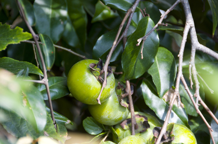 immature persimmon hanging on a tree Stock Photo