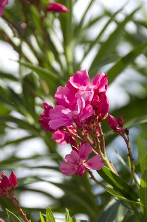 Closeup pink oleander or Nerium oleander blossoming on tree