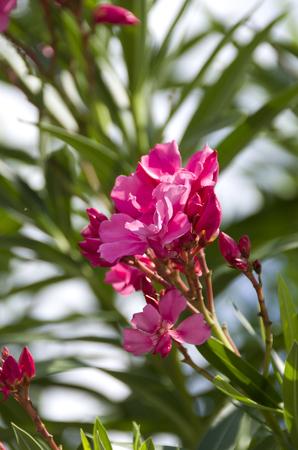 Closeup pink oleander or Nerium oleander blossoming on tree
