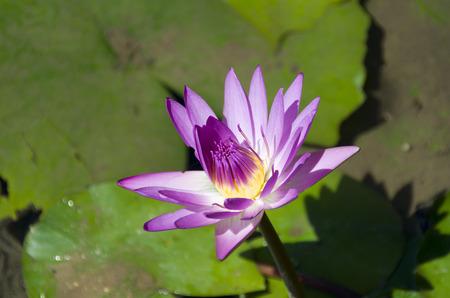 Beautiful purple Water lily, Nymphaea colorata Archivio Fotografico