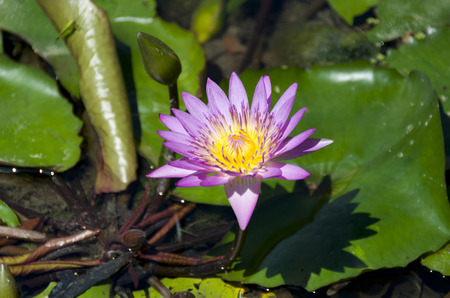 Beautiful purple Water lily, Nymphaea colorata Archivio Fotografico