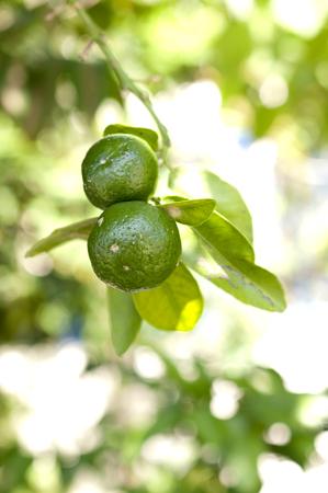 Flat lemon, Citrus depressa Thin-skinned flat lemon, Hirami lemon on tree Stock Photo