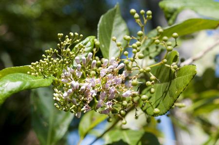 Callicarpa japonica flowers