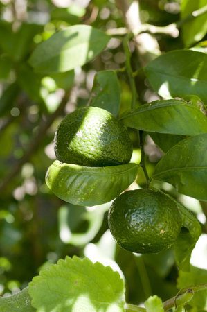 Flat lemon, Citrus depressa Thin-skinned flat lemon, Hirami lemon on tree Stock Photo