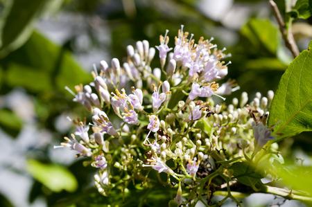 Callicarpa japonica bloemen