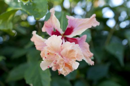 Hibiscus (El Capitolio Sport)