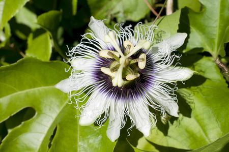 passion fruit flower: Passion fruit flowers