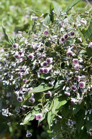 flowers of Skunk vine