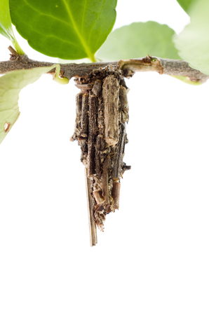 bagworm moth cocoon