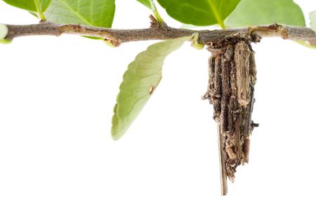 psique: bagworm moth cocoon